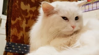 Cute cat videos  Turkish angora cats are very tender & affectionate