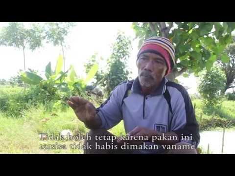 Video Pembelajaran Budidaya Udang Vaname