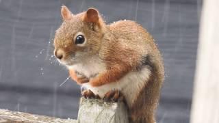 Gros plan sur Marvin l'écureuil en octobre, qui mange les fruits du rosier
