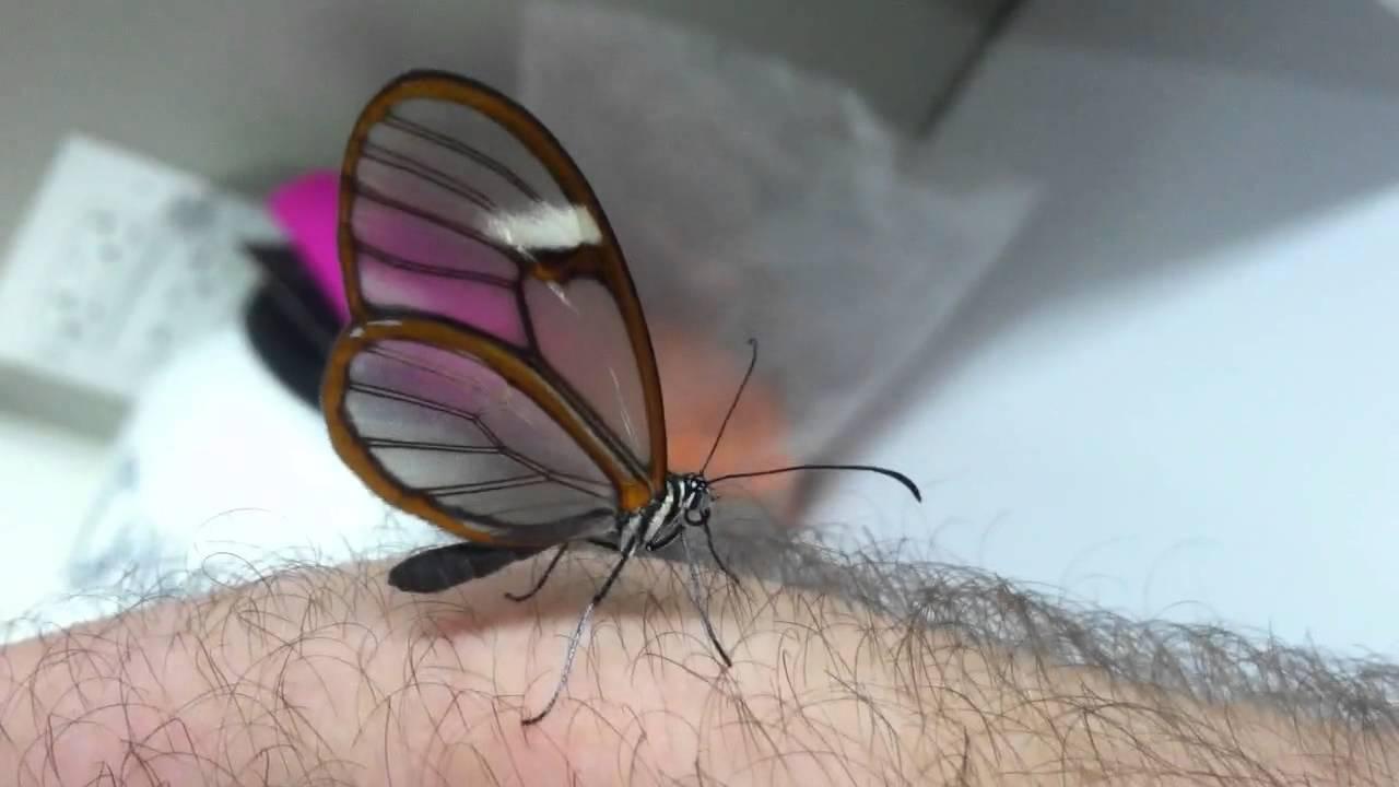 Glasswing Butterfly Youtube