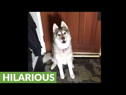 Husky refuses to allow her owner to go to work