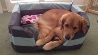 Wrong Beds - Golden Retriever Vs Cocker Spaniel Puppy