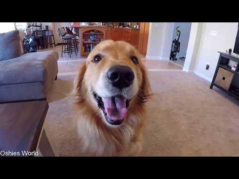 Oshie Goes To The Groomer | Golden Retriever VLOG