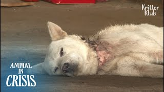 Dog Choked On A Wire Snare Never Gives Up Her Life For Her Unborn Puppies | Animal in Crisis EP179