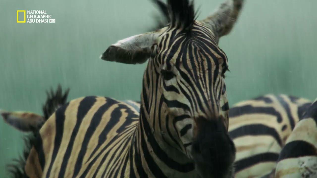 البرية الجامحة: أفريقيا البرية | ناشونال جيوغرافيك أبوظبي  - نشر قبل 19 ساعة
