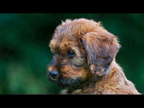 60 Seconds Of Cute Briard Puppies!