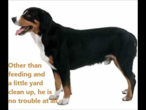 Entlebucher Sennenhund Puppies For Sale, By Pets4You.com