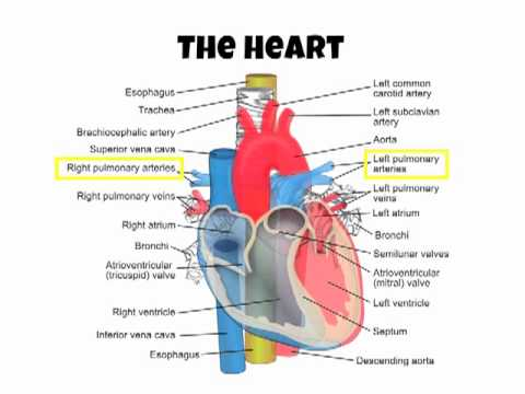 AS PE A+P Cardiovascular System Intro - YouTube