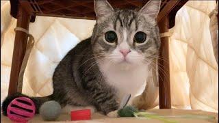 お気に入りのおもちゃをコタツに隠してる猫を発見しました…
