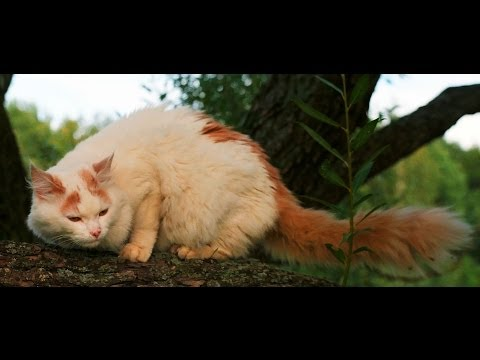 Animal Planet   :  Cats 101 ~ Turkish Van