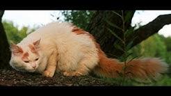 Animal Planet   :  Cats 101 ~ Turkish Van