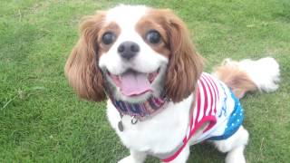 Cavalier King Charles Spaniel  Dog Run!
