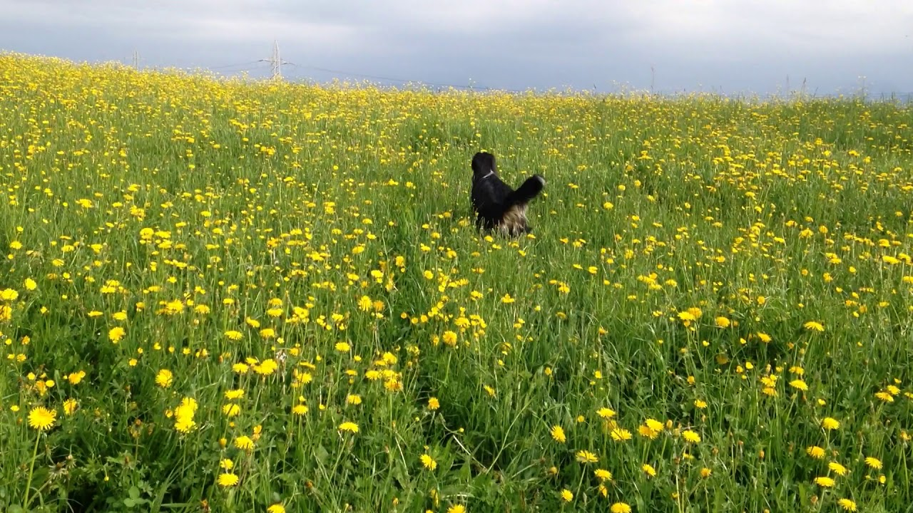 Dogs Of Instagram Black Dog Jumps In A Field Of Yellow Flowers Youtube