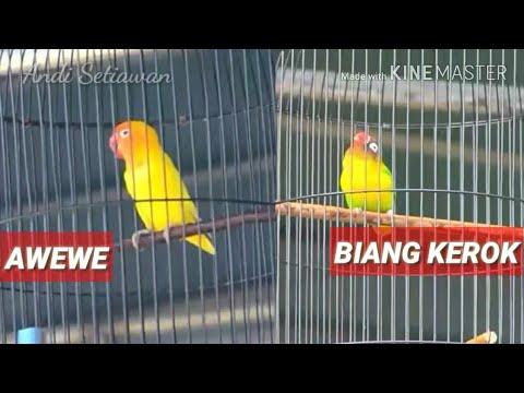 PIALA RAJA 2017 : LOVEBIRD AWEWE VS BIANG KEROK