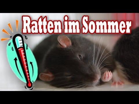 Ratten im Sommer! Wie verschaffe ich meinen Ratten Abkühlung? Tipps
