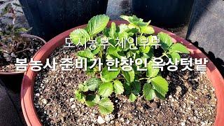 2021 옥상텃밭 봄농사 준비~ 블루베리와 딸기꽃이 피…