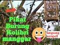 Suara Pikat Kolibri Manggar  Mp3 - Mp4 Download
