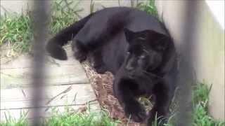 2014.9.27 鹿児島市平川動物公園にて撮影。 Lion&Black Jaguar at Kagos...
