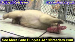 Golden Retriever, Puppies, For, Sale In Toronto, Canada, Cities, Montreal, Vancouver, Calgary