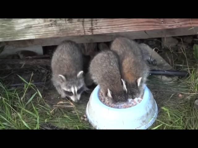 Енот пьет молоко, ныряя в миску с головой / Raccoon drinking milk, ducking his head in a bowl