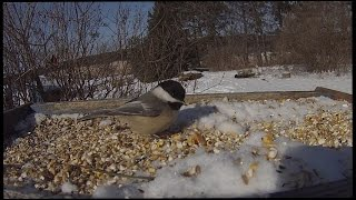 Chickadees. Cardinals. Juncos. All At The Bird Feeder