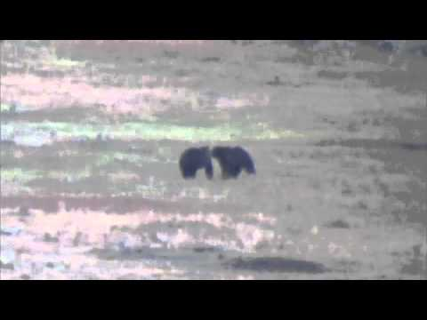 Allman - Grizzly Bears - Yellowstone NP - Oct. 2011