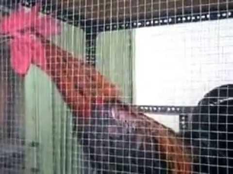 Suara Ayam Pelung Juara (Pelung Manggung)