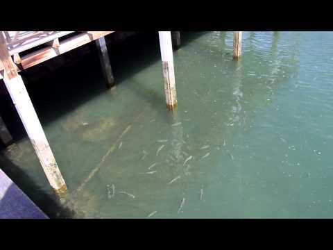 Huge Shoal of Harbour Mullet - TOP SECRET LOCATION