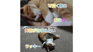 【5匹の子猫とラッキー】可愛いハナの寝顔とは対象で発情真っ只中の母猫ラッキー thumbnail