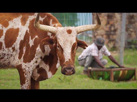 Angola's Kwanza Sul: Megafarms And Small Farmers