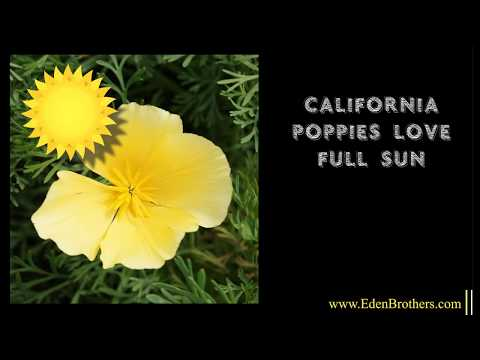 How To Grow Yellow California Poppy From Seed - Chrome Queen