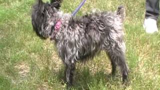 May 8 2010 Tootsie The Schnauzer Mix Girl Wag On Inn Rescue.mod