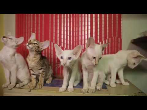 Beautifulstars - Siamese and oriental kittens (3 months old)