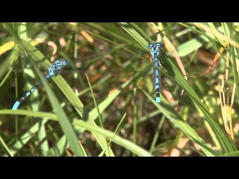 Vroege Vogels - Parende libelles