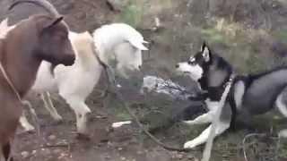 Коза домашняя и Хаски