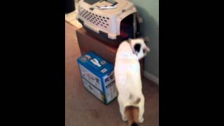 How To Train Your Cat To Go Inside Cage Or Carrier