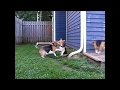 Beagle puppy learn how to fight from beagle dad
