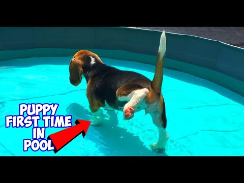 Puppy Feels Water for The First Time! Funny Beagle Puppy Marie