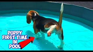 10 Week Old Puppy Feels Water For The First Time! Beagle Pool Pawty!!
