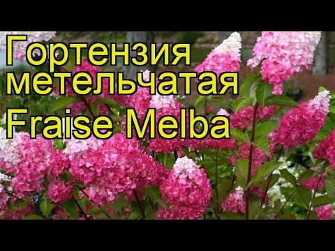 Гортензия метельчатая Fraise Melba. Краткий обзор, описание характеристик