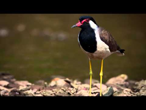 Звуки Природы.  Пение птиц - Чибис - Голоса птиц.
