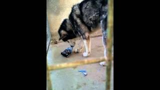 Giant dog 80kg eating orijen food