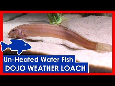 Dojo Weather LOACH - Unheated Cold Water Aquarium Fish Options
