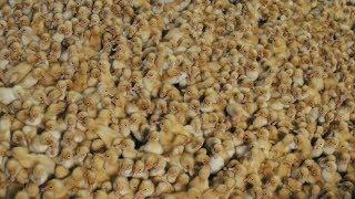 Миллион за 40 дней: как заработать на утиной ферме?