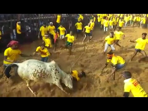 Jallikattu kick-starts in Tamil Nadu with stricter norms