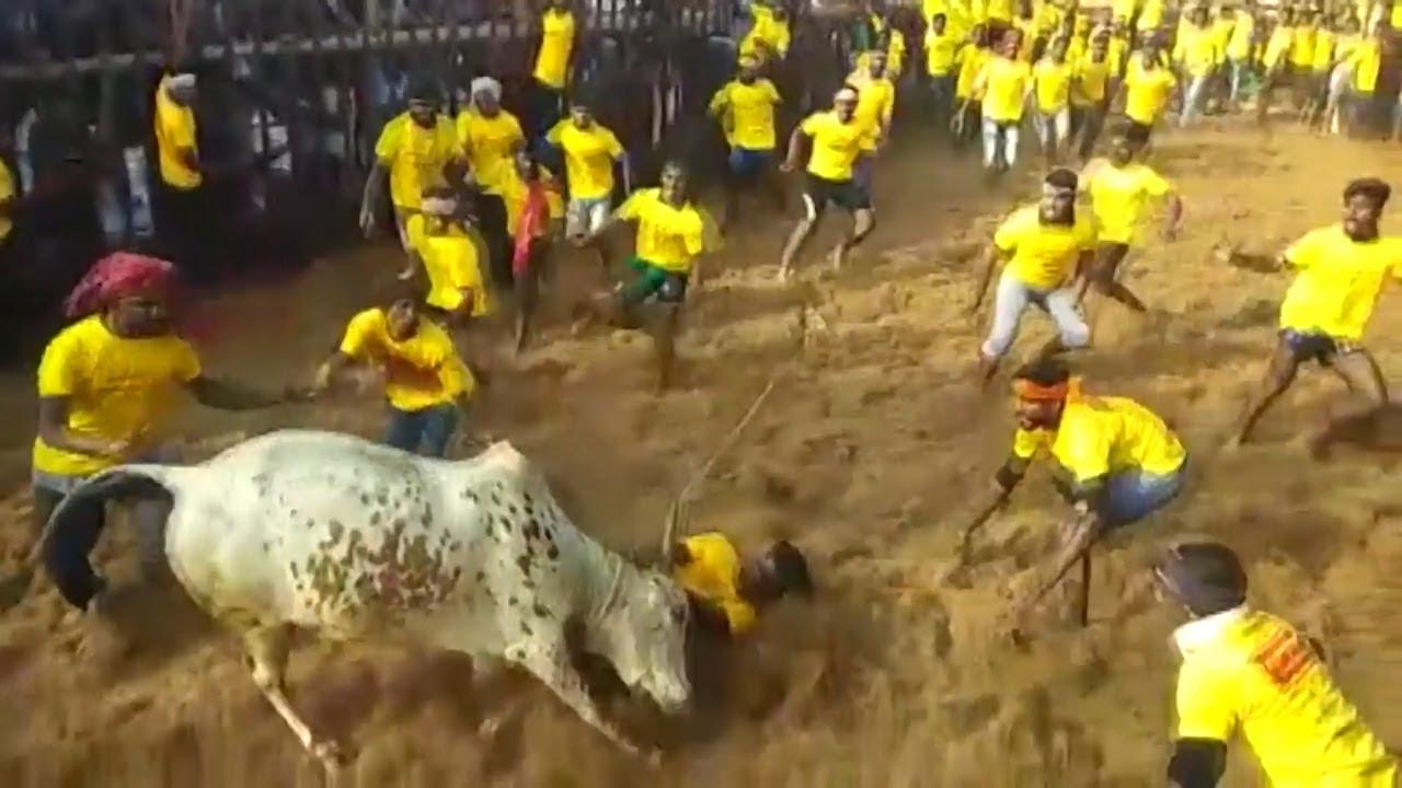 Download Jallikattu kick-starts in Tamil Nadu with stricter norms