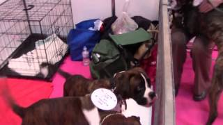 Crufts 2014 Discover Dogs - Boxers