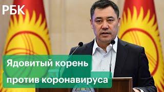 Жапаров рекомендует Коронавирус в Киргизии лечат ядовитым корнем