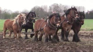 5 Strong Horses Plowing a Field