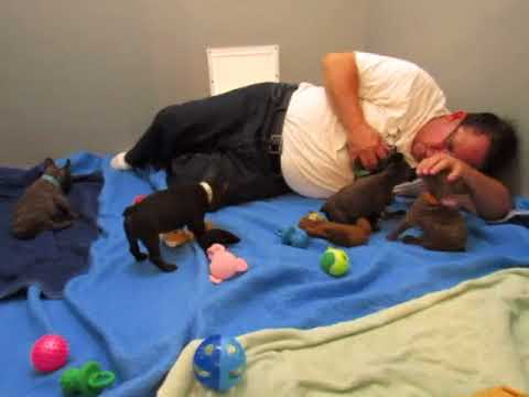 Chocolate AKC French Bulldog Puppies ~ Tasha and Franky ~ Oregon French Bulldog Breeders